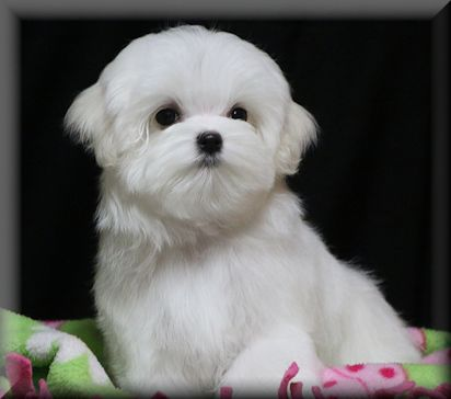 This puppy is NOT available!!!  Just an example of the puppies here at Rhapsody!!
